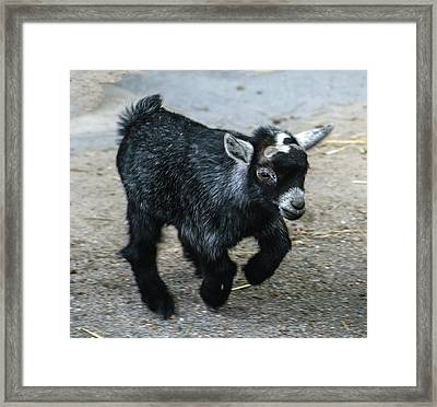 Pygmy Goat Kid Framed Print