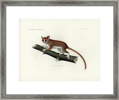 Pygmy Mouse Lemur Framed Print