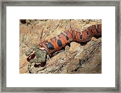 Hognose Snake Gorging On A Frog Framed Print