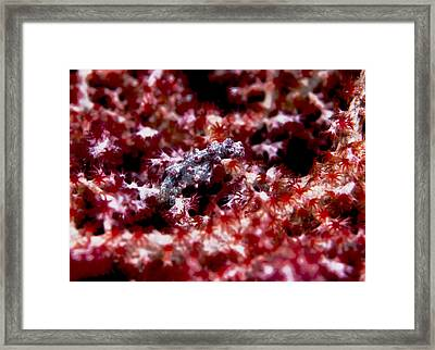 Pygmy Seahorse Framed Print by Larry Gohl