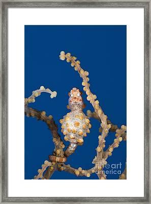 Pygmy Seahorse Framed Print by Reinhard Dirscherl