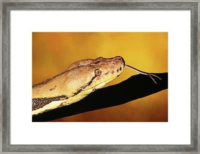 Python Framed Print