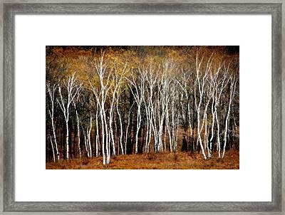 Quabbin Birches Framed Print by Richard Danek
