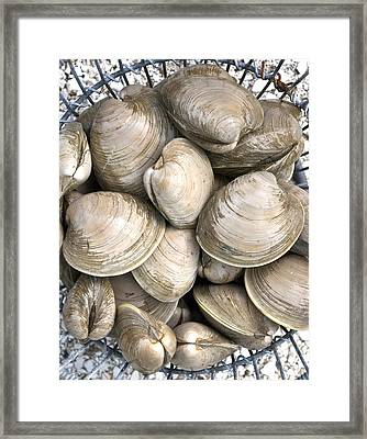 Quahogs Framed Print by Charles Harden