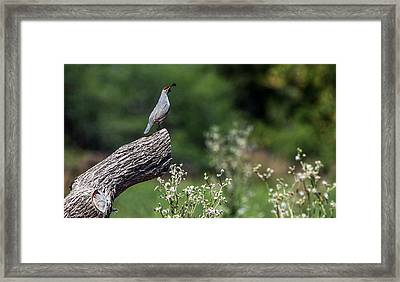 Quail Watching Framed Print