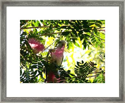 Quaker Parrot With Mimosa Flower Framed Print