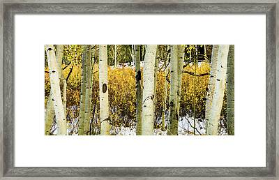 Quakies And Willows In Autumn Framed Print
