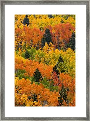 Quaking Aspen And Ponderosa Pine Trees Framed Print