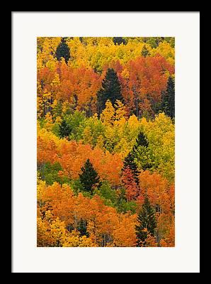Pinus Ponoderosa Framed Prints