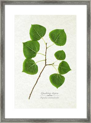 Quaking Aspen Framed Print by Christina Rollo