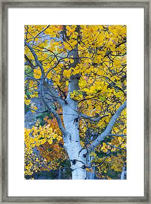 Quaking Aspen Framed Print