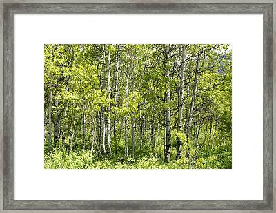 Quaking Aspens 2 Framed Print