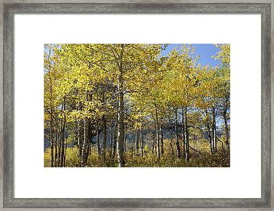 Quaking Aspens Framed Print