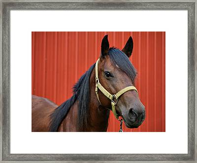 Quarter Horse Framed Print by Sandy Keeton