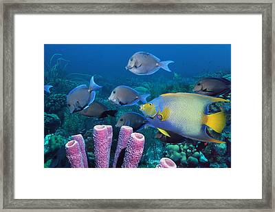 Queen Angelfish And Blue Tangs Framed Print