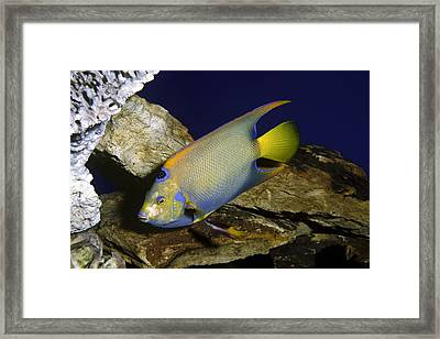 Queen Angelfish Framed Print by Sally Weigand