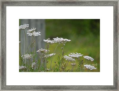 Queen Anne Lace Wildflowers Framed Print by Maria Urso