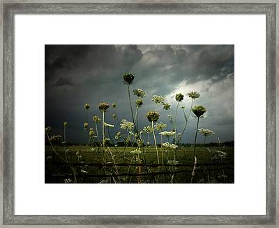Queen Anne's Lace 3 Framed Print