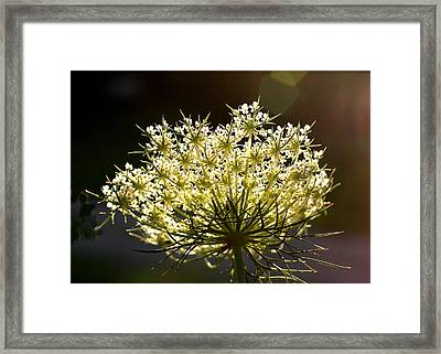 Framed Print featuring the photograph Queen Anne's Lace by Diane Merkle