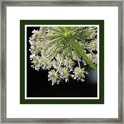 Queen Anne's Umbrella Framed Print by Ginger Howland
