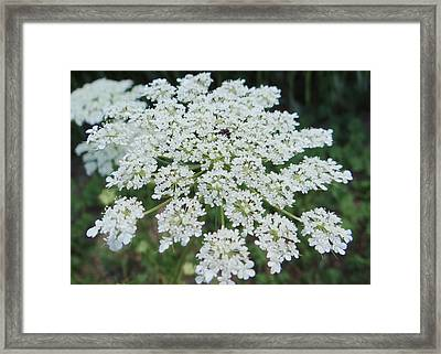 Queen Ann's Lace 2 Framed Print
