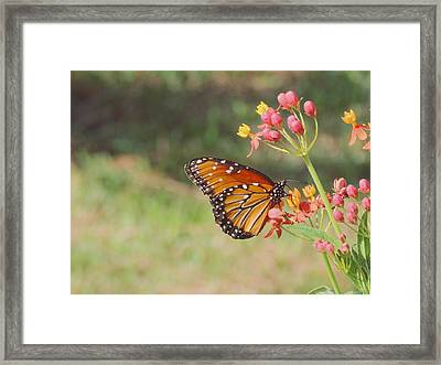 Queen Butterfly On Milkweed Framed Print