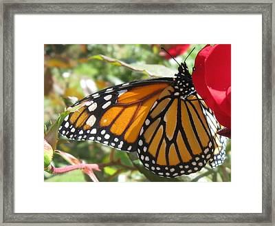Queen Of The Roses Framed Print by Sharon Marcella Marston