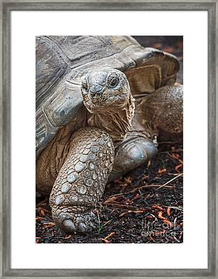 Queen Tortoise Framed Print by Jamie Pham