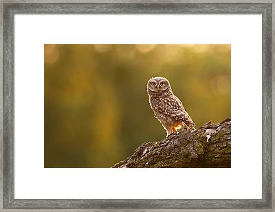 Qui, Moi? Little Owlet In Warm Light Framed Print by Roeselien Raimond