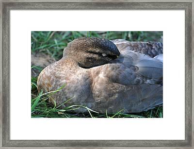 Quietly Resting Framed Print by Teresa Blanton