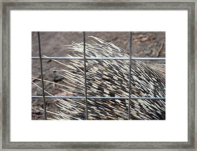 Quills Of An African Porcupine Framed Print by Linda Geiger