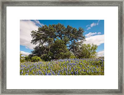 Quintessential Texas Hill Country County Road Bluebonnets And Oak - Llano Framed Print