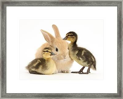 Rabbit And Ducklings Framed Print by Mark Taylor