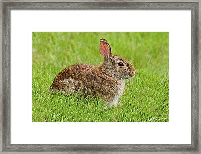 Rabbit In A Grassy Meadow Framed Print