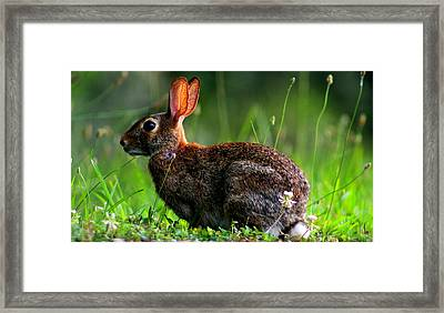 Rabbit In A Meadow Framed Print by Jake Marvin