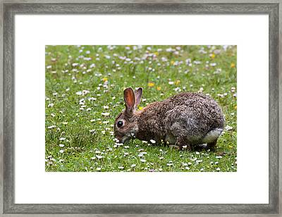 Rabbit In Daisies And Buttercups Framed Print