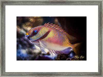 Rabbitfish Framed Print by Rikk Flohr