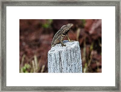 Rabida Lava Lizard Framed Print by Harry Strharsky