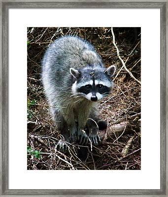 Raccoon  Framed Print by Anthony Jones
