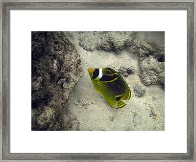 Raccoon Butterflyfish Framed Print by Michael Peychich