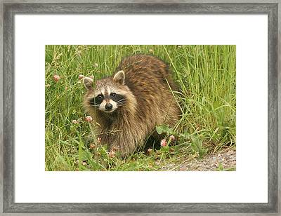 Framed Print featuring the photograph Raccoon  by Doris Potter