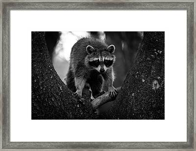 Raccoon In A Tree Framed Print by Bob Orsillo