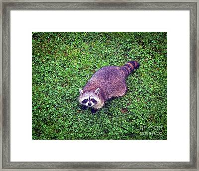 Framed Print featuring the photograph Raccoon  by Kerri Farley