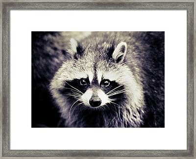 Raccoon Looking At Camera Framed Print by Isabelle Lafrance Photography
