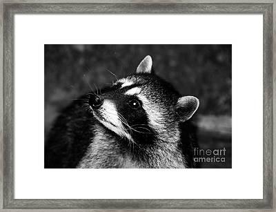 Raccoon Looking Framed Print