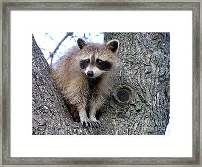 Raccoon Lookout Framed Print