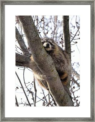 Afternoon Nap-raccoon Up A Tree  Framed Print