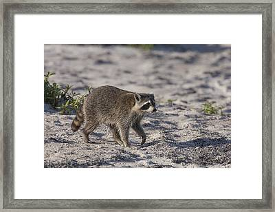 Raccoon On The Beach Framed Print