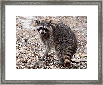 Raccoon Framed Print by Phil Stone