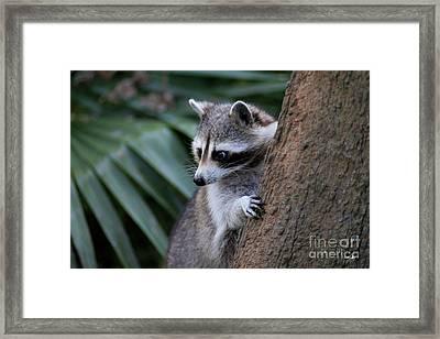 Raccoon Framed Print by Scott Pellegrin